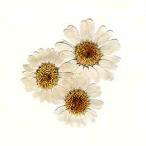 Pressed daisies