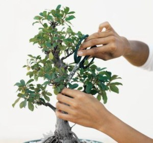 Bonsai-Pruning_2